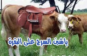 """صورة قصة المثل """"ياشين السرج على البقر """""""