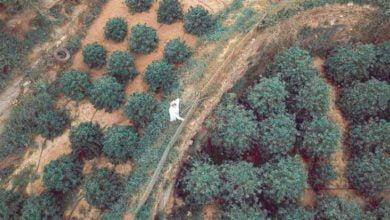 صورة هل تصدق أن بالسعودية 120,000 شجرة *بن *بجازان لوحدها..تنتج 700 طن سنويا.